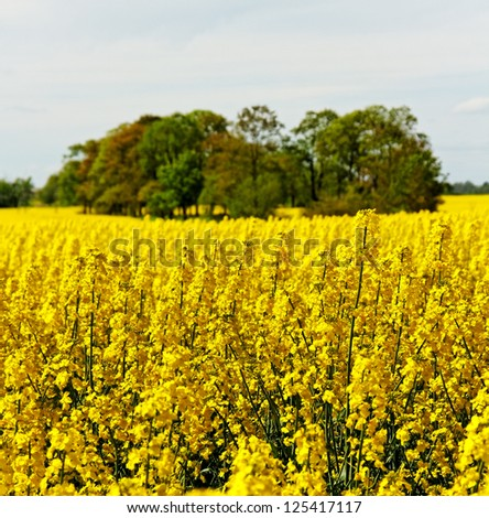 Country landscape with yellow canola field.