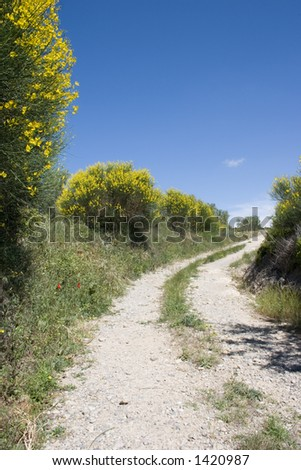 Country lane, yellow broom bushes and blue sky