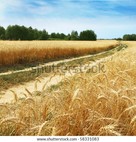 Country road in a wheat field.