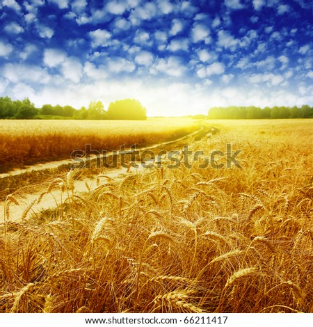 Country road in wheat field at sunset. #66211417