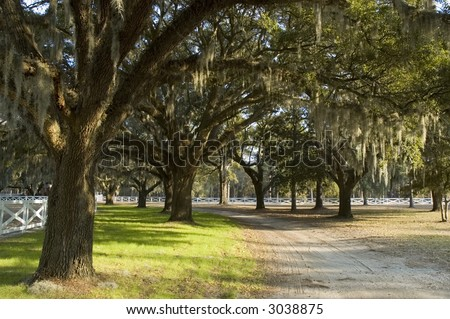 Country road under spanish moss hanging from large trees surrounded by white fence