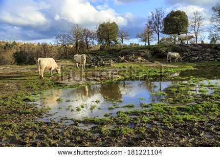 country rural scene with cows grazing. Catalonian Pyrenees Spain