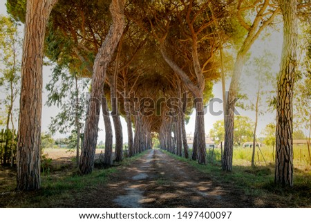 Country unpaved road with high pine trees on the sides forming a tunnel, illuminated by golden sunset sky. #1497400097