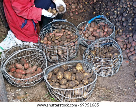 Country work - potato sorting after the digging