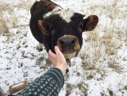 Countryside. Farm. Woman's hand in a sweater strokes the muzzle of a calf. The cow sticks out her tongue. Love to the animals. Animals are not food