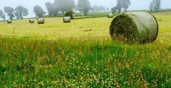 Countryside , round hay bales in a field on a misty day, with foreground of wild grass area with clover and buttercups.