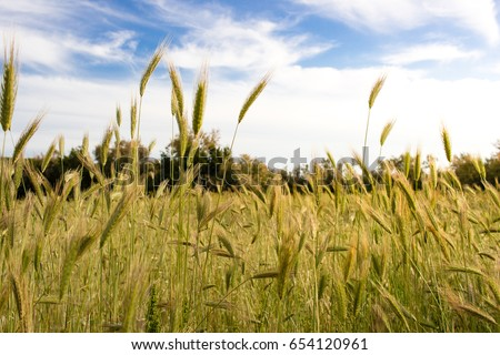 Countryside wheat field in a sunny day #654120961