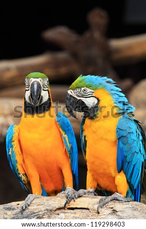 Couple blue-and-yellow macaws (Ara ararauna) sitting on log