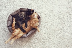 Couple cats sleep and hugging in their soft cozy bed on a floor carpet