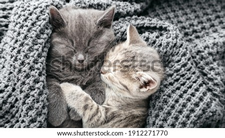 Couple cute kittens in love sleeping kissing on gray soft knitted blanket. Cats rest napping on bed. Feline love and friendship on valentine day. Comfortable pets sleep at cozy home. Top view banner Stock fotó ©