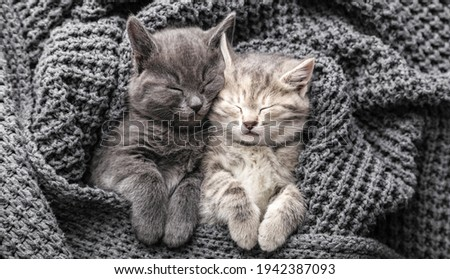 Couple cute 2 kittens in love sleeping on gray soft knitted blanket. Cats rest napping on bed. Feline love friendship on valentine day. Comfortable pets sleep under blanket. Top view Long web banner. Stock fotó ©