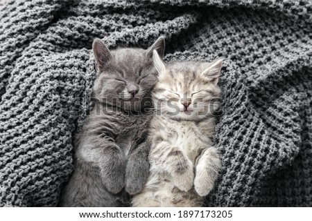 Couple cute kittens in love sleeping on gray soft knitted blanket. Cats rest napping on bed. Feline love and friendship on valentine day. Comfortable pets sleep at cozy home. Top view Stock fotó ©