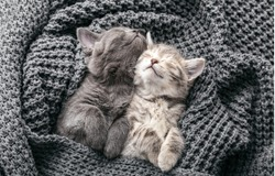 Couple cute kittens in love sleeping on gray soft knitted blanket. Cats rest napping on bed have sweet dreams. Feline love friendship on valentine day. Comfortable pets sleep at cozy home. Top view
