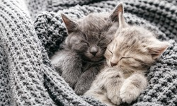 Couple cute kittens in love sleeping on gray soft knitted blanket. Cats rest napping on bed have sweet dreams. Feline love friendship on valentine day. Comfortable pets sleep at cozy home. Long banner