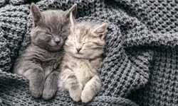 Couple cute kittens in love sleeping on gray soft knitted blanket. Cats rest napping on bed have sweet dreams. Feline love friendship on valentine day. Comfortable pets sleep at cozy home. Copy space.