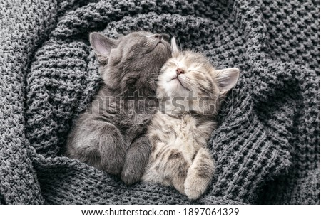 Couple cute kittens in love sleeping on gray soft knitted blanket. Cats rest napping on bed have sweet dreams. Feline love friendship on valentine day. Comfortable pets sleep at cozy home. Top view Stock fotó ©
