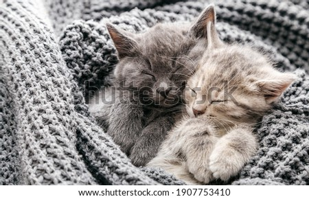 Couple cute kittens in love sleeping on gray soft knitted blanket. Cats rest napping on bed have sweet dreams. Feline love friendship on valentine day. Comfortable pets sleep at cozy home. Long banner Stock fotó ©