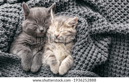 Couple cute kittens in love sleeping on gray soft knitted blanket. Cats rest napping on bed have sweet dreams. Feline love friendship on valentine day. Comfortable pets sleep at cozy home. Copy space. Stock fotó ©