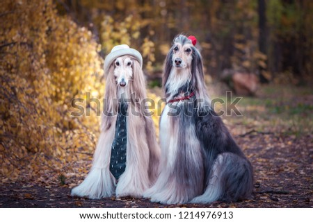 Couple  dogs in the style of the bride and groom, lovers. Afghan hounds as men and women. Concept lovers, fashion for dogs #1214976913