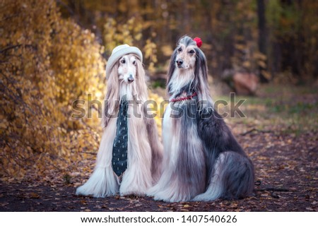 Couple  dogs in the style of the bride and groom, lovers. Afghan hounds as men and women. Concept lovers, fashion for dogs #1407540626