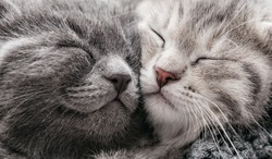 Couple happy kittens sleep relax together. Kitten family in love. Adorable kitty noses for Valentine s Day.Long web banner close up. Cozy home animal sleeping comfortably