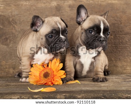 couple in love French bulldogs, puppy