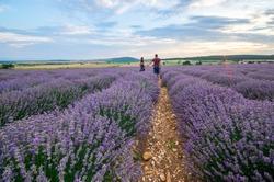 Couple in love walking among beautiful lavender field in Bulgaria. Romantic walk, sunset walk, sunset romance