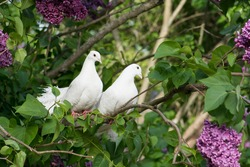 Couple lover of white pigeons perching on the branch.