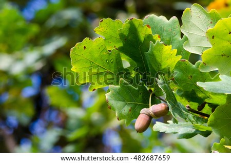 Couple of acorns on the branch with green leaves in autumn / fall season #482687659
