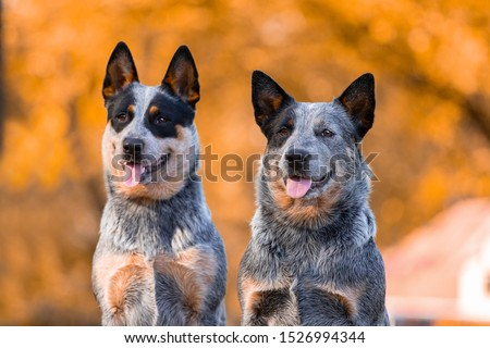 Couple of adorable Australian Cattle Dogs posing in park in autumn #1526994344