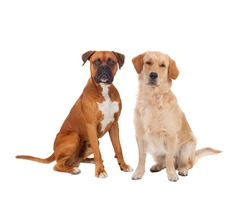 Couple of adult dogs isolated on a white background