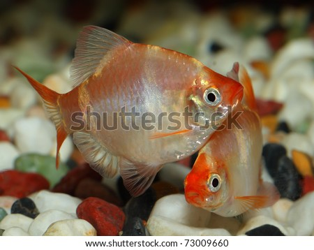 Couple of aquarium fish Barbus (tiger barb or sumatra barb)