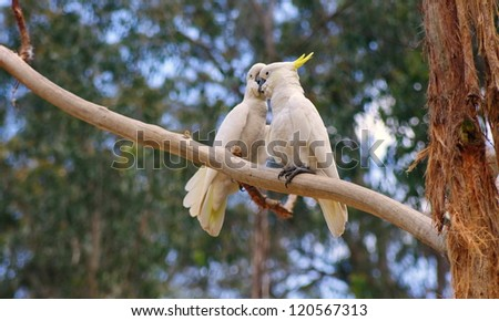 couple of australian cockatoos closeup