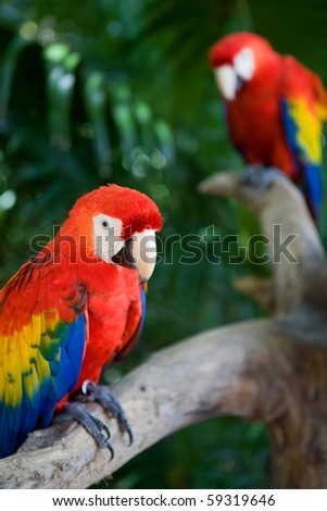 couple of beautiful macaws, on Xcaret, Yucatan, Mexico