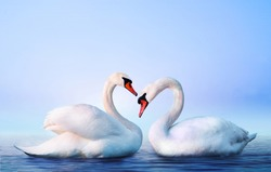 Couple of beautiful white swans in the water. Foggy lake with birds. Morning landscape with animals.