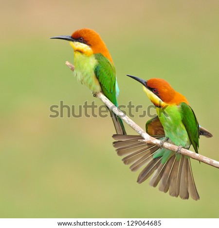 Shutterstock Couple of Bee eater Bird
