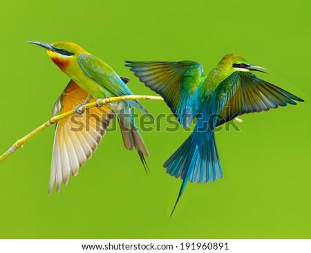 Couple of Bee eater  bird of Thailand sitting on tree limb on green  background #191960891