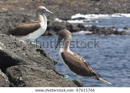 Couple of blue footed boobies, Galapagos islands