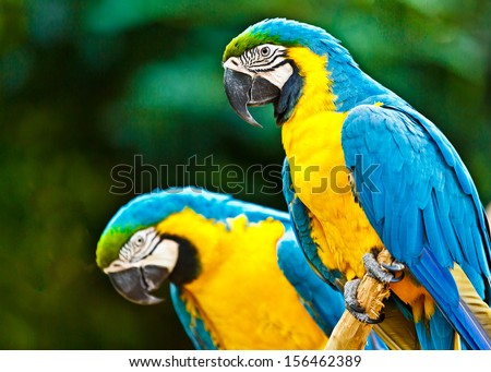 Couple of blue macaw parrots on the rainforest in Brazil