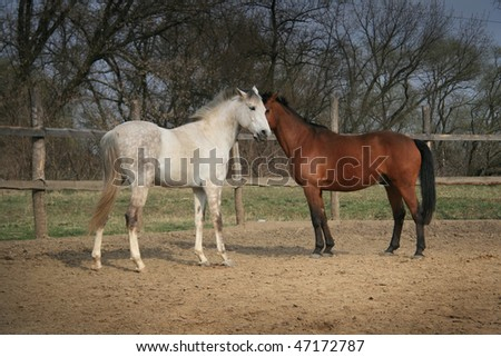 Couple of brown and white horses standing near each other and kissing