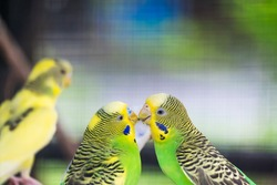 Couple of Budgerigar kissing. Romantic time of Sweetheart animal.