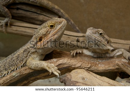 Couple of Central (or Inland) Bearded Dragons (Pogona vitticeps)