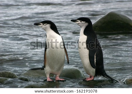Couple of chinstrap penguins after a dip in antarctica. Livingston Island in Antarctic Peninsula