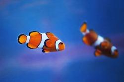 Couple of clownfish (Western clownfish, Ocellaris Clownfish, False Percula Clownfish) in blue marine water underwater photo
