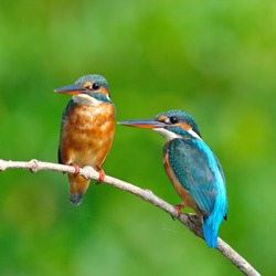 Couple of  Common Kingfisher is perching on a branch.(Alcedo atthis)