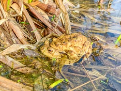 Couple of common toads (Bufo bufo) mating in water pond. Wild european toads mating season