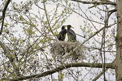 Couple of cormorants sitting in the nest in a tree with sprouting spring leafs on a cloudy sky in Blaasveldbroek nature reserve, Willebroek, Belgium - Phalacrocoracidae