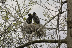 Couple of cormorants sitting in the nest in a tree with sprouting spring leafs on a cloudy sky in nature reserve, , Belgium - Phalacrocoracidae