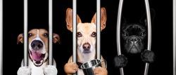 couple of  criminal dogs behind bars in police station, jail prison, or shelter  for bad behavior