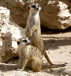 Couple of curious meerkats